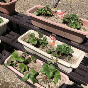 40代から始める農作業(畑・庭・プランター) – 成長・収穫編【その3】庭のプランターで栽培した苺の収穫!【2021年/春夏】
