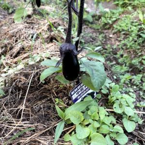 ズボラ家庭菜園、落ち葉マルチの成果