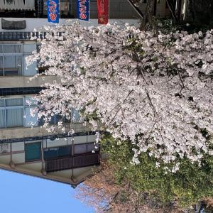 宮島 桜満開