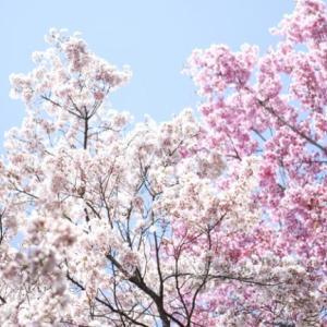 【新宿御苑で花見】3/27から臨時閉園中である新宿御苑の桜動画(Youtube)で公開中
