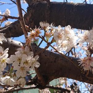 🌼サクランボの木の花🌼