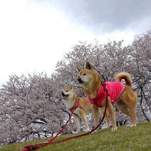 桜とabby&zack4、梅とabby&zack