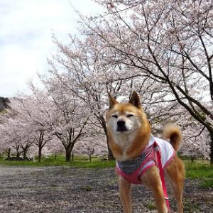 桜とabby&zack5