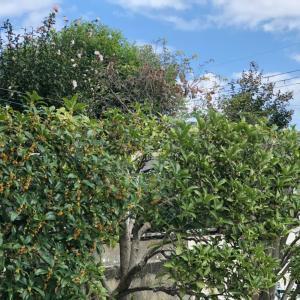 秋の香り 金木犀・銀木犀