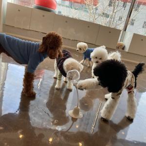 【犬の幼稚園in釜山】最近ブームな遊び