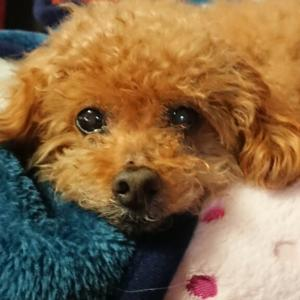 Lovely toy poodle (トイ・プードル)