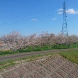 大野川の桜
