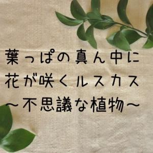 【ルスカス】葉っぱの真ん中に花が咲く不思議な植物~その6 1年たちました