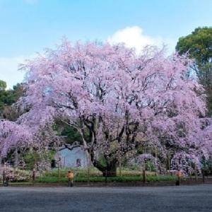 ≪花談議522≫ 六義園の枝垂れ桜に久留米のツツジ はなさんからのお便りです。