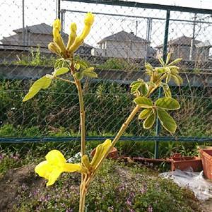 ≪花談議225≫ 滋賀で初めてイペ―が咲きました。学移連の谷村さんからの嬉しいお便りです。