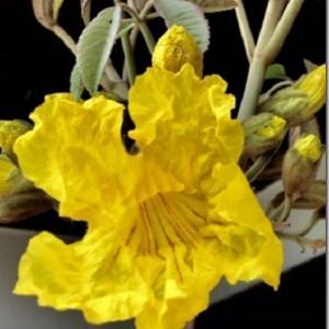 ≪花談議558≫ 「コロナの日々、つれづれなるままに、 私のイペその後」 しゅくこさんからのお便