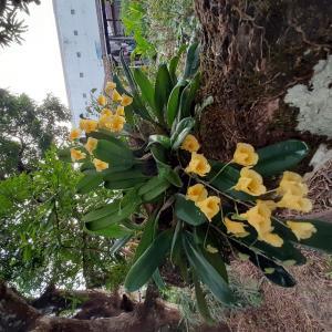 ≪花談義579≫ 18年目のランの花が咲きました。アマゾン昭子さんからのお便りです。