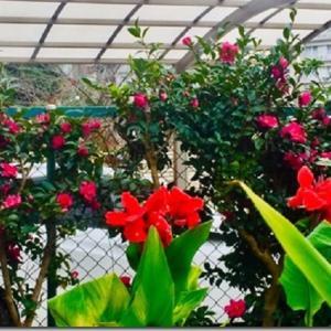 ≪花談義589≫ はなさんへ! カンナ、山茶花、ナンテン しゅくこさんのお便りです。
