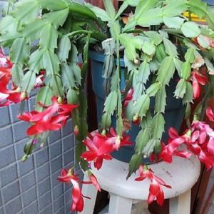 ≪花談義658≫ 我が家のヴェランダの植木鉢のカニバサボテン(カニシャボ)が満開です。