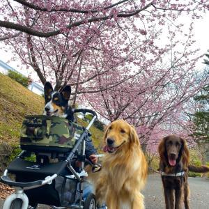 伊豆高原駅前の大寒桜