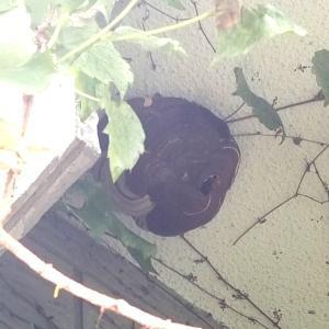 『スズメバチ駆除』を業者さんに頼みました。 主婦ブログ   蜂の巣駆除  ぴえん