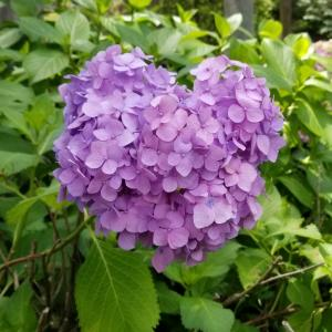 【京都】【御朱印】『三室戸寺』にあじさいを見に行ってきました。  女子旅 京都観光 主婦ブログ