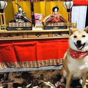 【写真記事】ひな祭りと柴犬