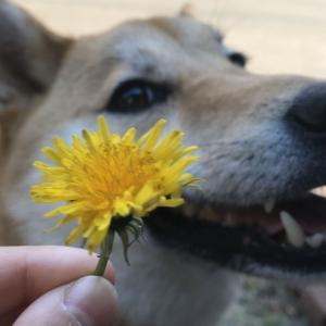 【写真記事】春と柴犬