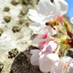 大阪は桜は満開 Tamron 46A 70-210mm f/3.8-4.0 で撮ってみる