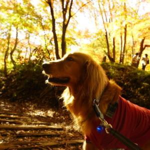 シコリその後と廃線ハイキング・京の紅葉巡り(11月)