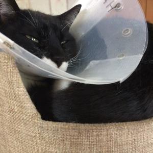 エリザベスカラー後の猫さん。