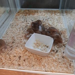 新しく入荷されたハムスター……色がかなりネズミです(笑)