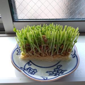 我が家の中に「緑」が増えました……伸びたら食べて無くなる予定です(笑)
