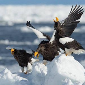 オオワシ【野鳥】
