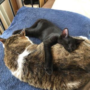 一緒に眠る子猫と老猫