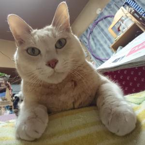 自ら膝に乗る猫