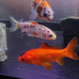 三ツ尾の金魚
