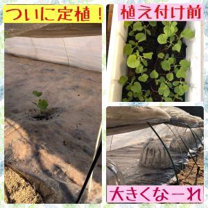 ついに定植!大きなメロンになるのを願う…