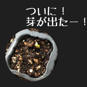 リベンジメロン苗、ついに芽が出る!葉が出る!