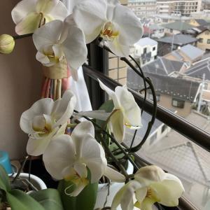 在宅業務が始まりました♪胡蝶蘭が7つ咲きました♪