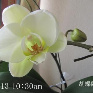 胡蝶蘭の植え替え♪新生姜の甘酢漬け