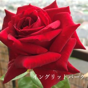 薔薇と蝉そして御座候♪