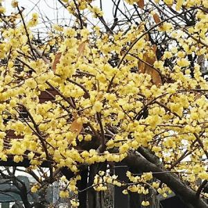 立春まじか♪蝋梅