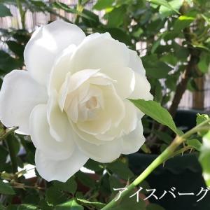 今年初の薔薇が咲いた♪