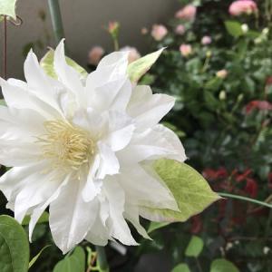 我が家にも白い花♪GWの過ごし方