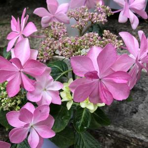 ピンクの紫陽花♪父が残したシュロチク