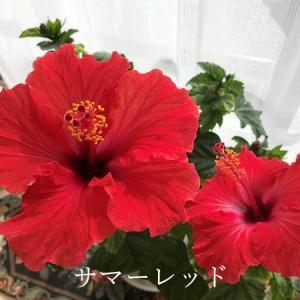 まっ赤な花と真っ赤な朝焼け♪