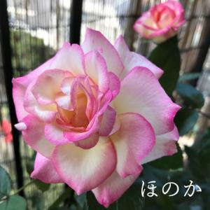 楽しいバレエレッスン&薔薇のほのか