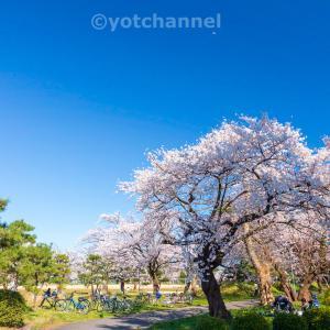 公園でお花見201904