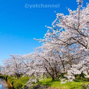 用水路脇に咲く桜201904