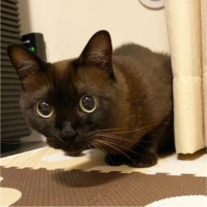 『とある日のトンちゃん』獲物発見ッ️…な顔おはようございますニャン#猫#ねこ...
