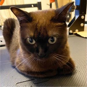 『とある日のトンちゃん』イカ耳威嚇猫おはようございます#猫#ねこ #ネコ ...