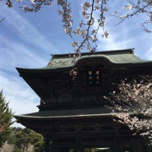 鎌倉建長寺 柏槇(びゃくしん)と桜