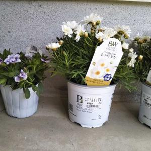 今日は夏日と新しい花の苗