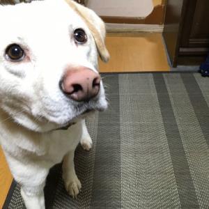 元野犬・レインのお誕生日とお散歩事情。